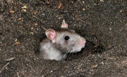 安全灭鼠法介绍